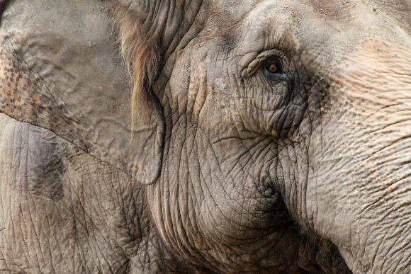 Trist elefant portrett