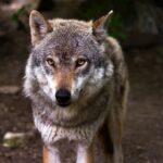 KLD vil endre loven for å kunne skyte flere ulver