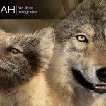 Nå trenger både pelsdyrene og ulvene din hjelp!