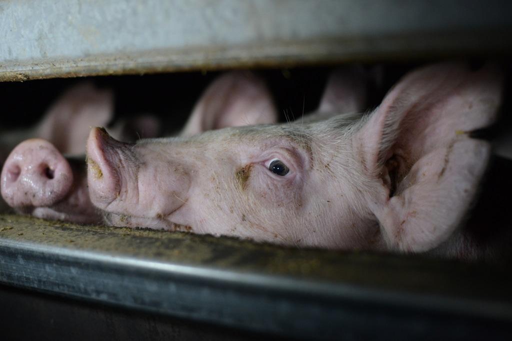 To livredde griser titter gjennom en sprekk i båsen sin