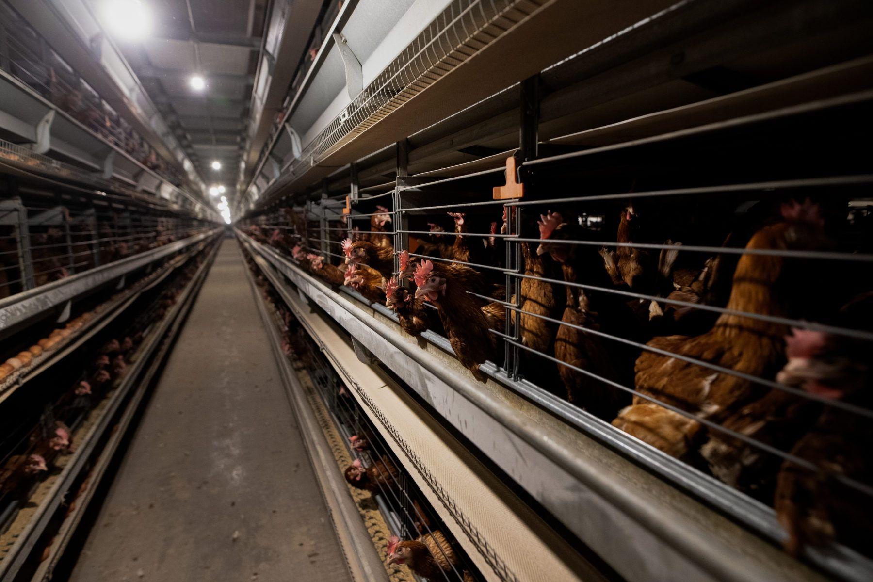 Høns på kyllingfarm