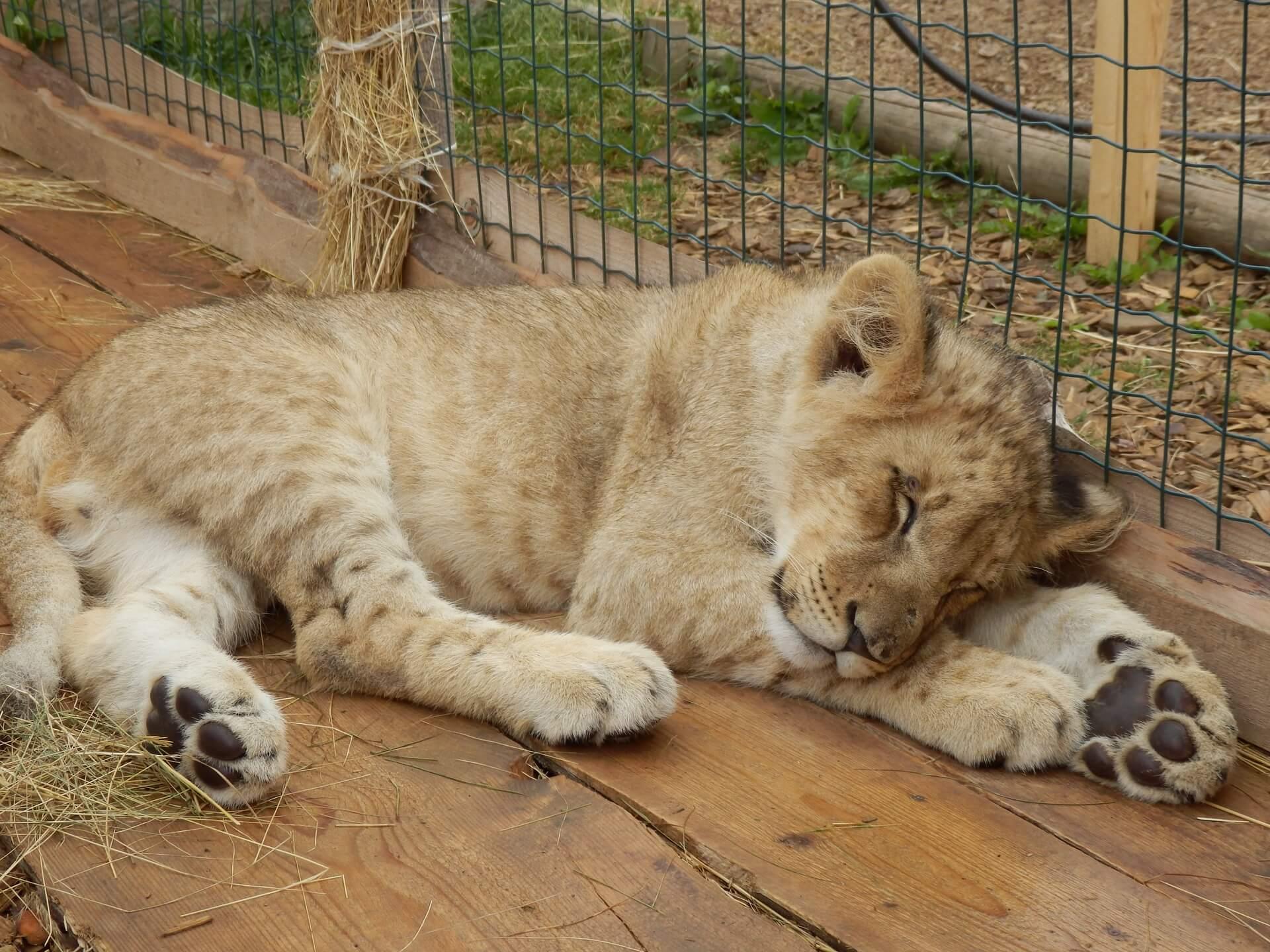 En løveunge som ligger og sover inntil et gjerde i dyrepark