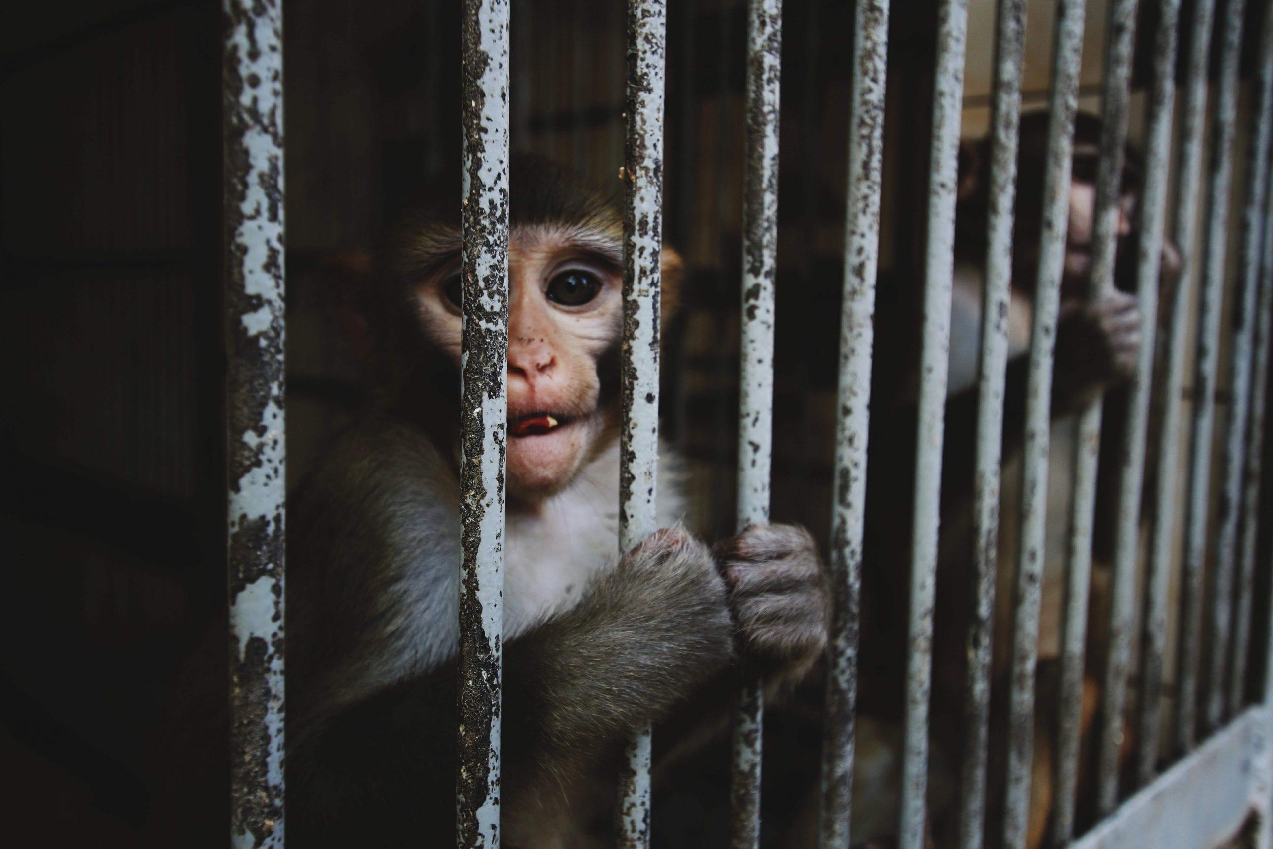 Aper fanget i bur, står med fortvilende blikk og holder på gitteret