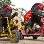 Elefanter på sykler i thailandske show