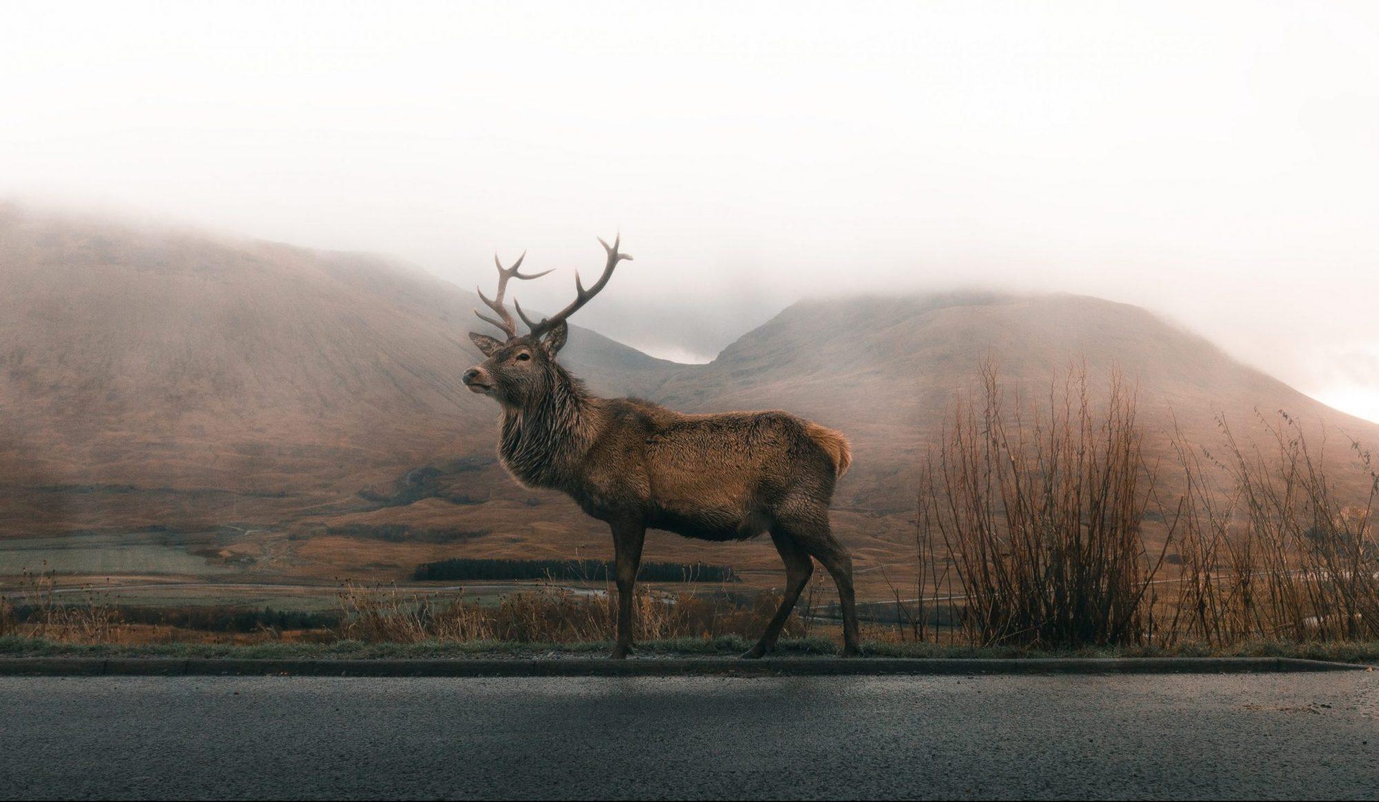 En hjort går langs veikanten i tåke en våt høstkveld. Fjellene skimter i bakgrunn.