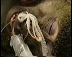 Bavian i dyreforsøk, xenotransplantasjon