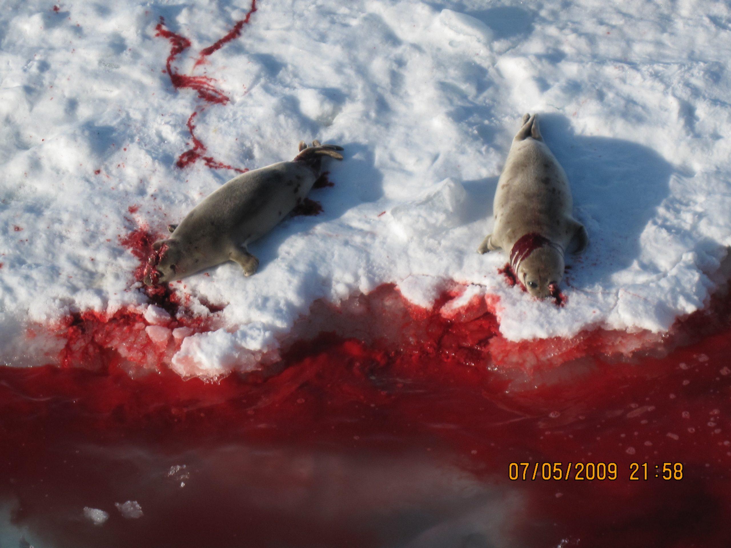 Bilde viser et blodbad av døde seler