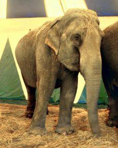 Elefant i sirkus