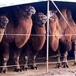 Ufri uttalelse om dyr i sirkus