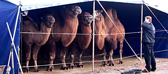 Kamel i sirkus