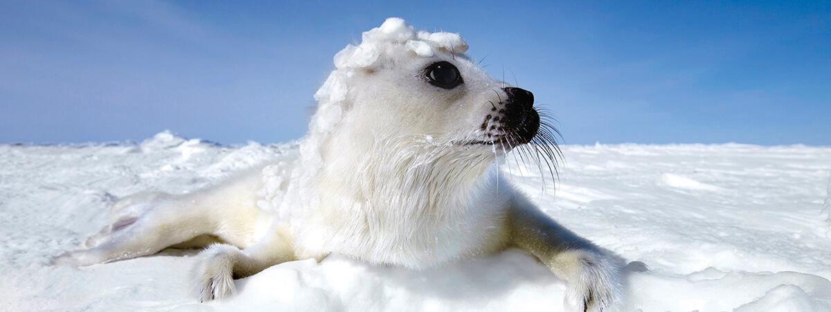 sel i snøen