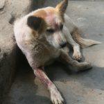 Et hundeliv - I India