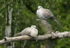Duer i par. Foto: Moorhen.me.uk