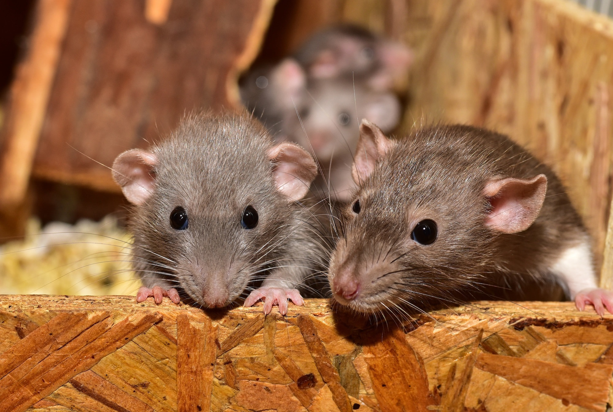 to mus som titter frem bak en trevegg