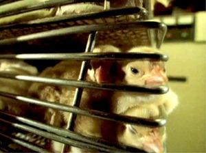 Bilde viser kyllinger i trange bur