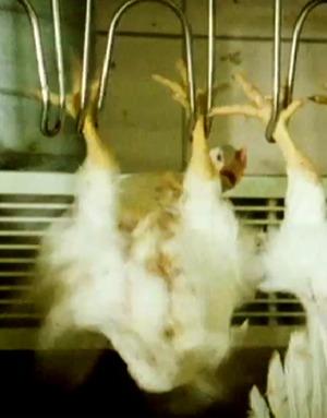 Bilde viser kyllinger som henger i kroker for slakt.
