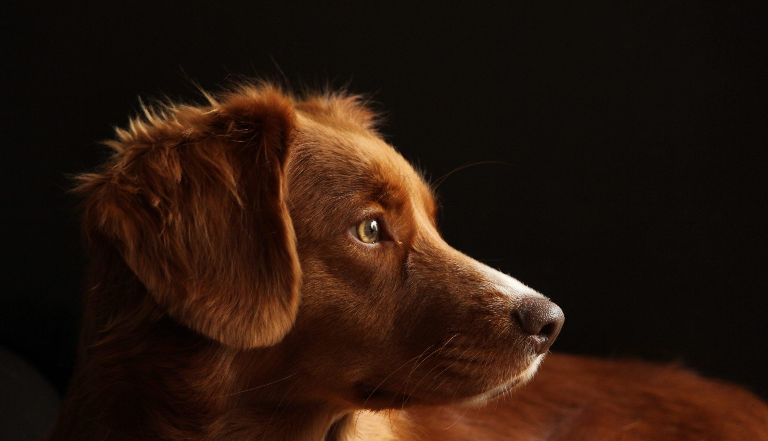 En hund står i mørkt rom og ser til siden