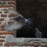 To duer på et tak