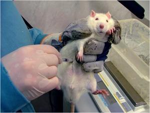 dyreforsøk med rotte som holdes fast