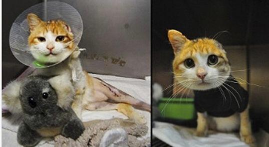 En oransje katt som har mistet øret sitt og vært i operasjon