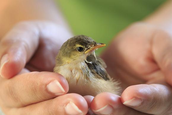 En liten fuglunge i hånden på et mennesket