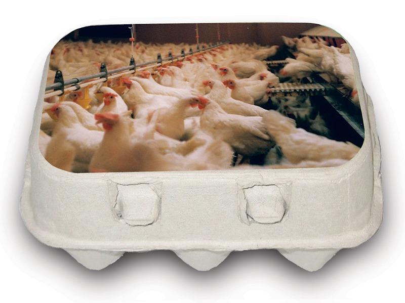 Illustrasjon av eggekartong med mange hundre høner plassert sammen i en låve.