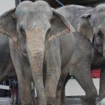 England forbyr elefanter i sirkus