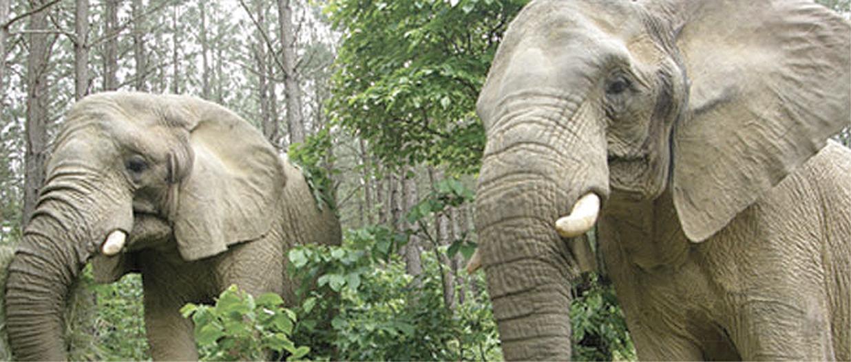 Elefanter i det frie.