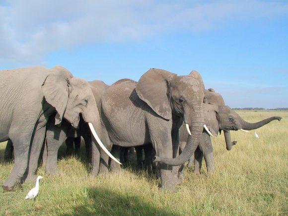 Elefanter i frihet.