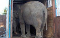 Elefanten sto i traileren mesteparten av tiden. Foto: NOAH