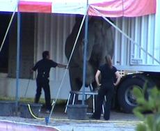 Elefantkrok i bruk på Merano. Foto: NOAH