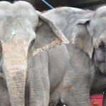 Hva skjer med sirkuselefantene?