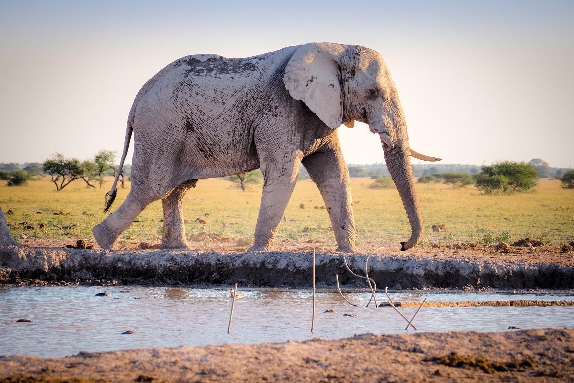 Elefant i fri natur
