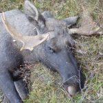 Jakt - lidelse for dyrene