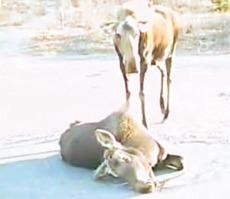 Elg mor med død kalv