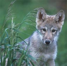 Valp av ulv.