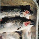 Oppdrettsfisk – individløs biomasse?