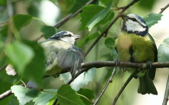 Fugleunge tigger om mat. Foto: Moorhen.me.uk