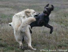 En foreldreløs ulv og en hund leker med rettferdige regler. Foto: Tanja Askani