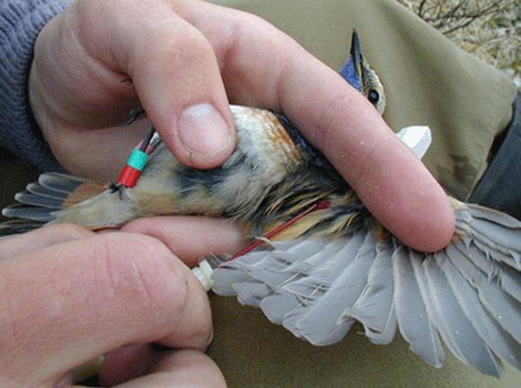 En fugl som blir holdt fast med vingen ut til siden mens forsker tar blodprøver av den.