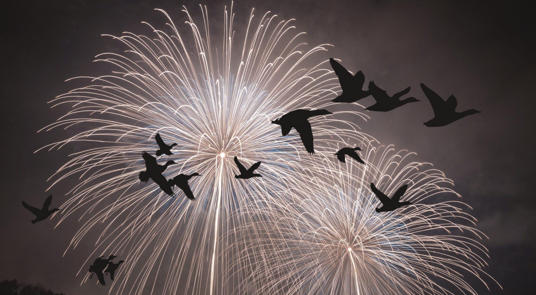Bilde av fugler som flyr redde på himmelen med fyrverki i som lyser opp himmelen i bakgrunn