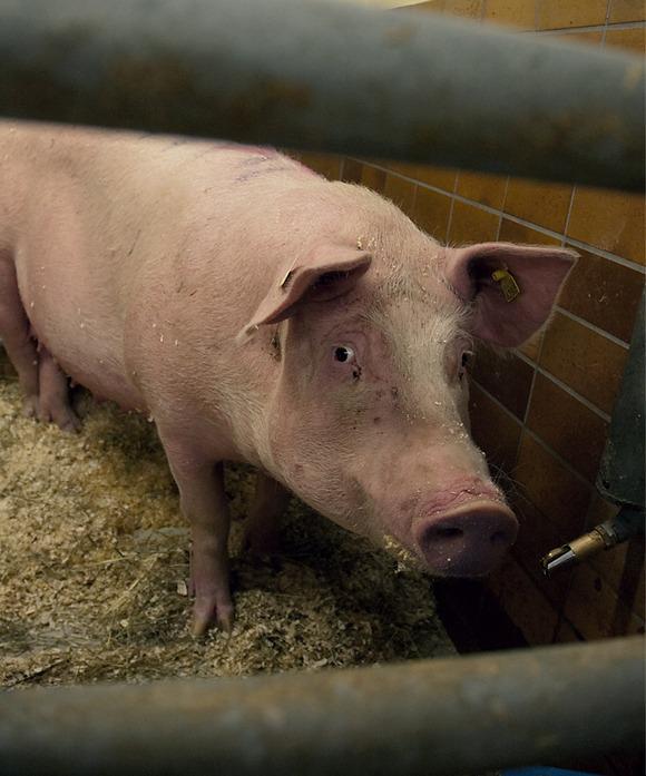 En gris i trang bås