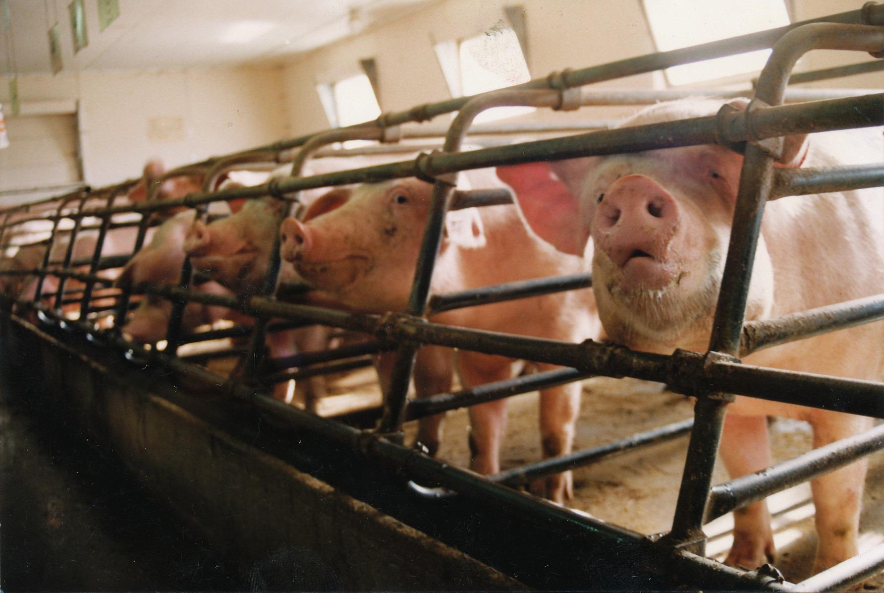 Mange griser i bås ser gjennom gitteret. Foto: NOAH