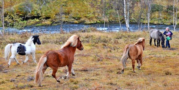 Fire hester som løper i skogen langs en elv