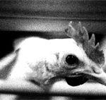 Rapport: Innredede hønebur – lidelsene fortsetter