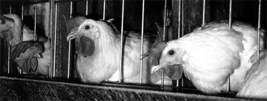 Høner i bur. Foto: NOAH