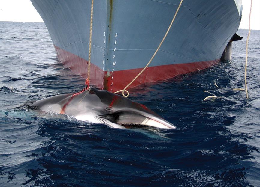 Bilde viser japansk hvalfangst.