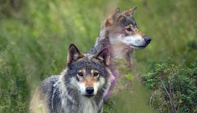 To ulver som står i åkeren