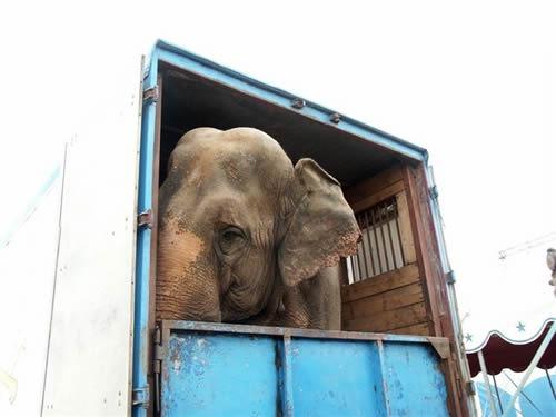 En sirkuselefant er innestengt i en lastebil og stirrer ut med trist blikk.