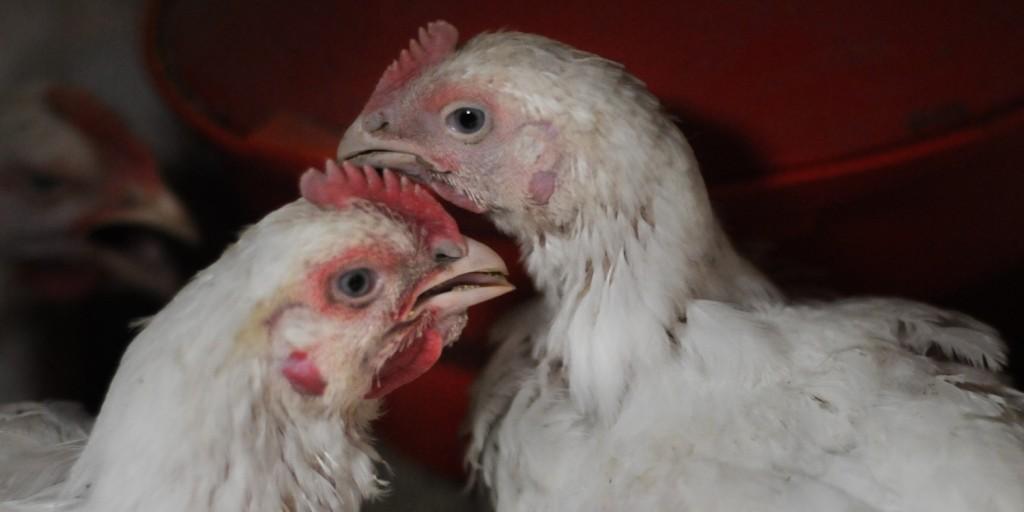 To høner som hilser på hverandre nebb mot nebb